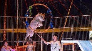 Zacházení se zvířaty v čínských cirkusech není nijak zákonem ošetřeno, podle toho to tak i vypadá