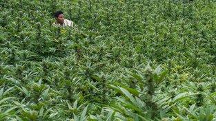 Kolumbijští zemědělci pěstují marihuanu už několik desítek let. Zatímco dosud ji museli odevzdávat povstalcům, nyní díky legalizaci jdou peníze přímo jejich rodinám