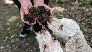 V Albánii se hledání a sběr lanýžů změnilo ve válku - sběrači si například navzájem tráví cvičené psy