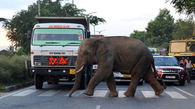K setkáním a střetům slonů s lidmi dochází v Indii stále častěji