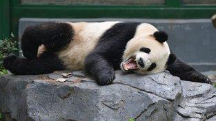 Číňané k nám dovezli leccos. Na pandu velkou však pražská zoo čeká marně