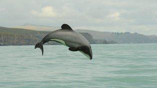 Delfína maui čeká pravděpodobné vyhynutí do roku 2030