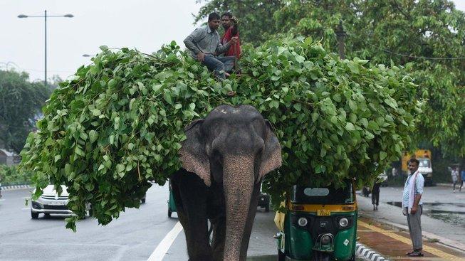 Úřady indické metropole Dillí zabavují vodičům jejich slony. Ilustrační snímek