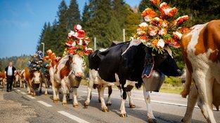 Sestup krav z Alp je vždy velká sláva