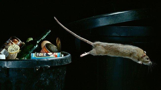 Ve městech mají potkani dlouhodobě kvalitnější stravu. Ilustrační snímek