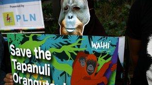 Na světě žije už jen zhruba osm stovek orangutana tapanulijského, a ty ohrožuje vnik obří přehrady