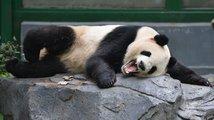 Prosit o pandy? Stačí, že Zeman podkuřuje Číňanům s krtkem