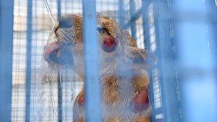 Lev zachráněný ze zoo nedaleko syrského Aleppa