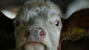 Veterináři kontrolují polské hovězí, vzorky z jatek jsou v pořádku