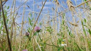 Pruhy divokých rostlin v polích by mohly snížit množství používaných pesticidů