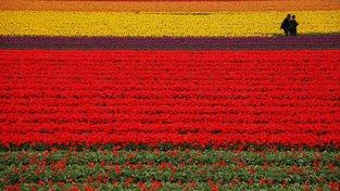 Turisté v tulipánovém poli v nizozemském Keukenhofu