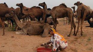 K původnímu účelu, tedy přepravě lidí a věcí, už nejsou dromedáři potřeba, a tak jejich cena a s ní spojený chov v Indii klesá
