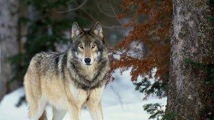 Letos byli na Královský ostrov dopraveni čtyři vlci z kanadského Ontaria.