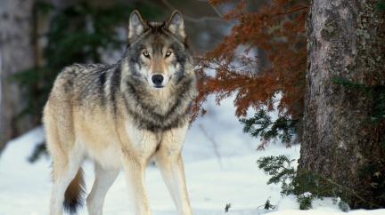 Vlčí výsadkáři mají zastavit losí hrozbu