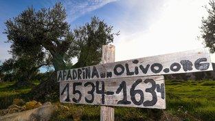 Ve španělské vesnici Oliete si můžete a 50 euro ročně adoptovat staletý olivovník