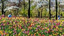 Tulipánová pole