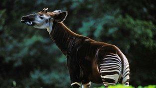 Okapi žije na světě už jen asi 10 tisíc