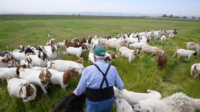 Kozy spasou všechno, nejsou vybíravé a mají vždy apetit, proto jsou skvělou zbraní v boji s lesními požáry