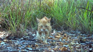 Divoká kočka zachycená fotopastí na severu Austrálie