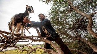 Kozy do korun agávových stromů v Maroku zřejmě instalují sami farmáři, kteří tak na atrakci vydělávají