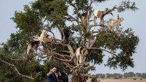 """Marocké """"kozí stromy"""""""