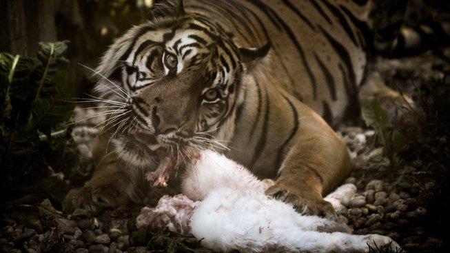Tygr si pochutnává na ovci. Tak avizuje mluvčí Jiří Ovčáček mocenské postupy svého šéfa, Miloše Zemana