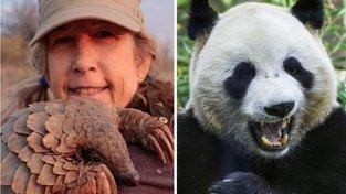 Tchajwanský Luskoun a čínská panda. Vyberte si