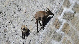 Lezecké schopnosti Kozorožce horského alpského jsou neskutečné