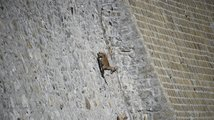 Kozorožec alpský horský