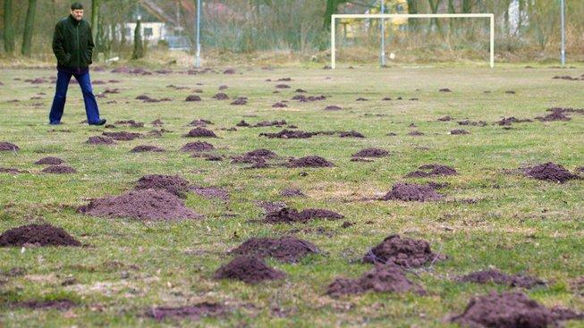 Na fotbalovém hřišti výsledky krtkovy práce obzvláště nepotěší