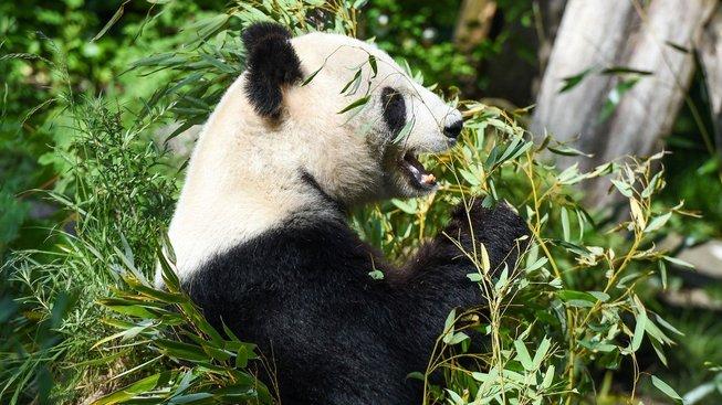 Panda Yang Yang v zoo ve vídeňském Schönbrunnu