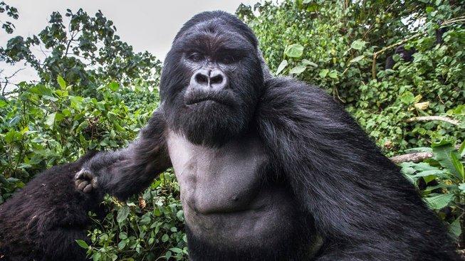 Naštvaný gorilí samec v národním parku ve Rwandě