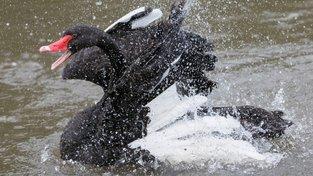 Černá labuť, hrozba pro Andreje Babiše