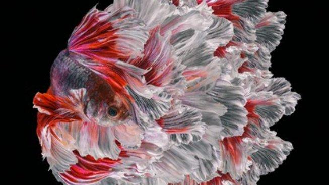 Půvab rybky, která proslula svou bojovností