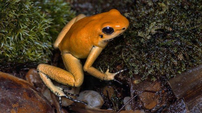 Pralesnička strašná Orange (Phyllobates terribilis Orange) je nejjedovatějším druhem žáby na světě. I ta je v Zoo Praha k vidění na výstavě Šípové žáby.