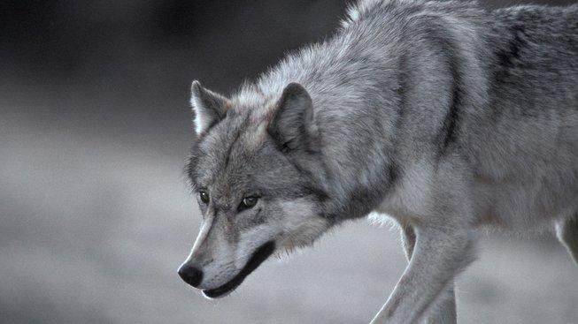 Jak jsem prožil environmentální žal a naučil se mít rád vlky
