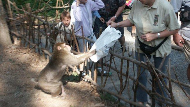 Drzost makaků nezná mezí - klidně se s vámi budou přetahovat o vaši tašku