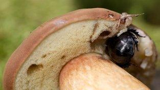 Chrobák lesní si pochutnává na hřibu borovém