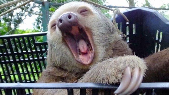 Lenochod Trevor zívá únavou - zřejmě po těžké celodenní dřině
