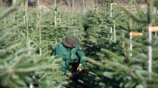 Kavkazská jedle je nejoblíbenějším vánočním stromem