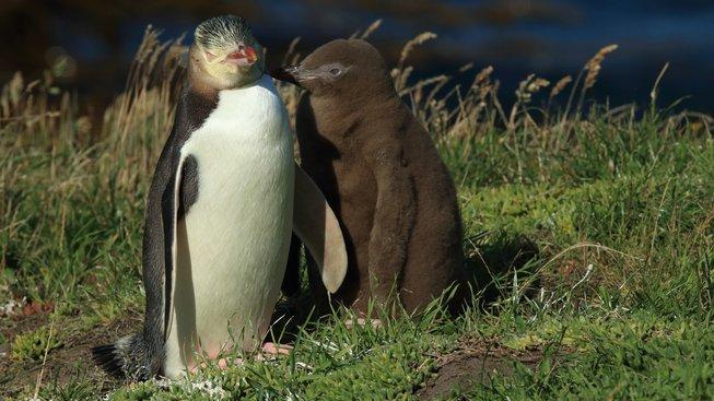 zlutooky pinguin