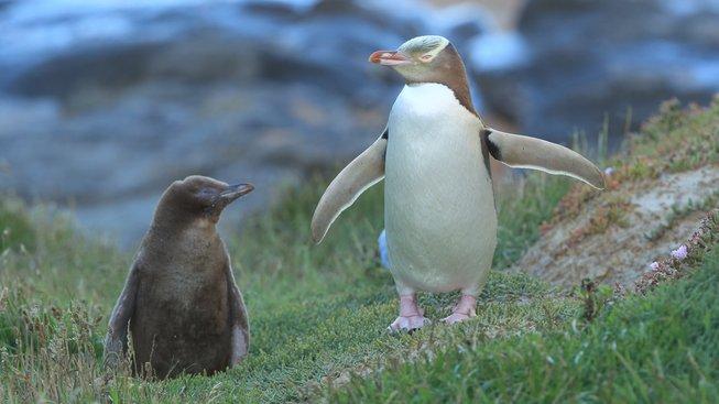 Kde na Novém Zélandu můžete spatřit tučňáky ve volné přírodě