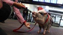 Zvířecí jednotka na letišti v San Francisku