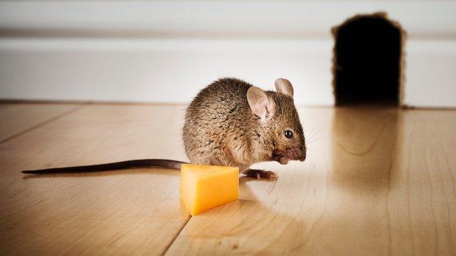 Mají myši opravdu tak rády sýr?