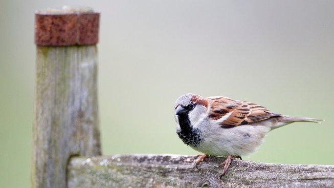 Kdy jste naposledy viděli pořádné hejno vrabců?
