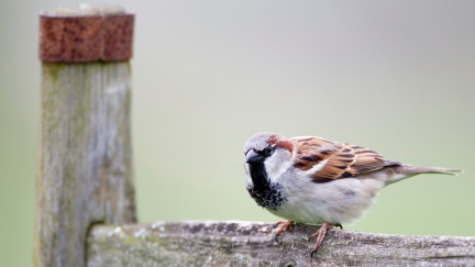 Nenápadný ptáček s bohatou historií