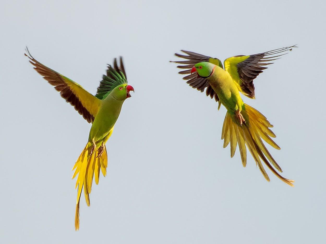 Papouščí vášeň ve vzduchu