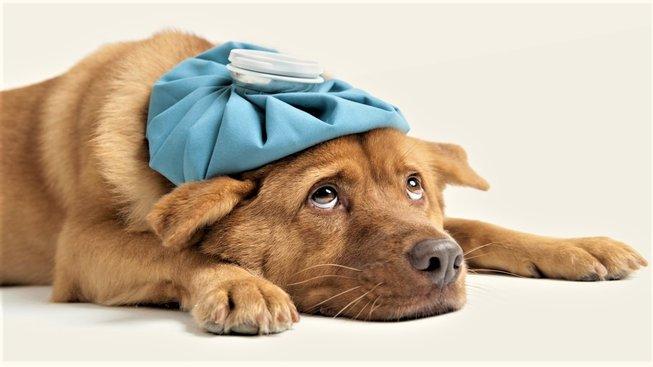 Psí vir PIV5 dokáže psa potrápit. Člověku však neškodí. Mohl by mu tedy pomoci s koronavirem