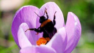 Čmeláci v pohodě zvládnou i hluboké květy