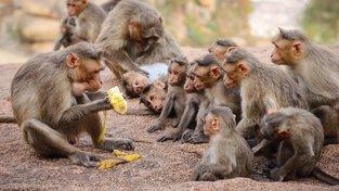 Opice si na banány opravdu potrpí